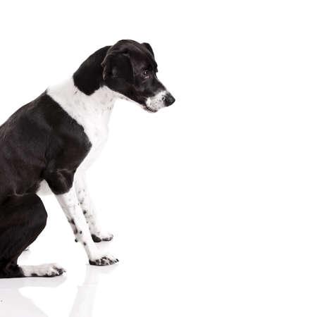 Beautiful mixed breed dog sitting over white background Stock Photo - 9111836