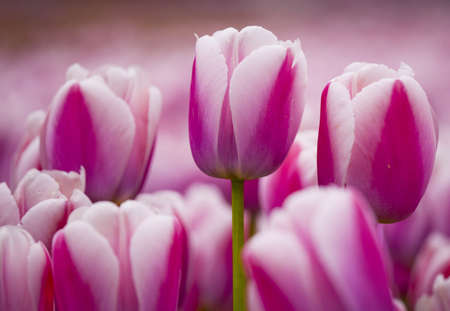flowers field: Picture of beautiful pink tulips on shallow deep of field