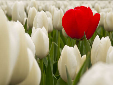 tulip  flower: Red Tulips surrounded by white tulips on shallow deep of field