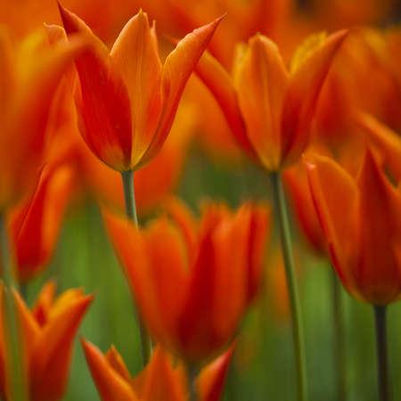 Frühlingsfeld voll der schönen und bunten Tulpen auf flachem tief vom Feld