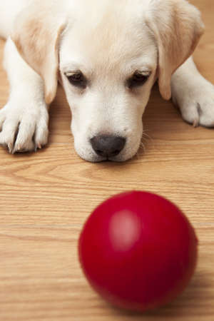 Labrador retriever puppy lying on the floor and playing with a red ball photo