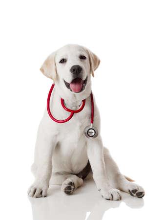 stetoscoop: Mooie labrador retriever met een stethoscoop op zijn nek, geïsoleerd op wit