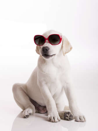 Labrador retriever puppy wearing sunglasses, isolated on white photo