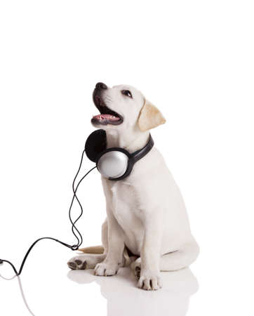 Beautiful labrador retriever with headphones, isolated on white Stock Photo - 9832978