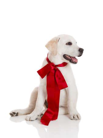 lazo regalo: Adorable cachorro labrador retriever de color rojo que llevaba un cord�n Sattin, aislado en blanco