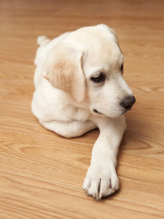 Labrador retriever puppy lying on the floor Stock Photo