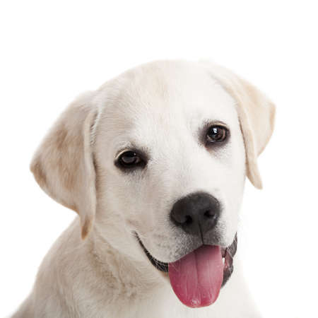 head shots: Beautiful portrait of a labrador retriever puppy with tongue out, isolated on white