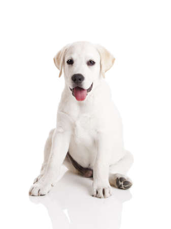 Beautiful labrador retriever cream puppy isolated on white background Stock Photo - 11130830
