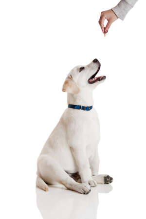 Beautiful labrador retriever cream puppy isolated on white being rewarded for good behavior photo