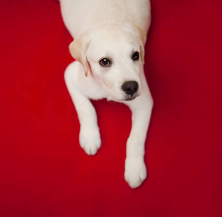 lap top: Top view of a labrador retriever puppy lying on the floor