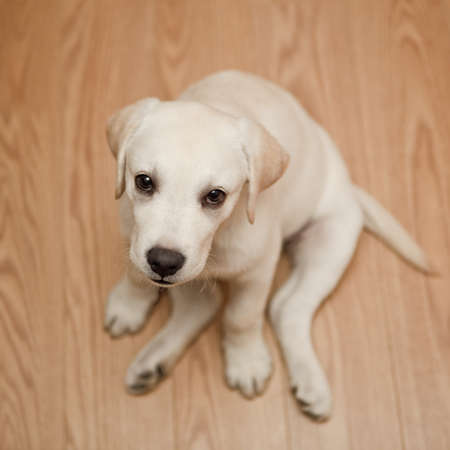 Top view of a labrador retriever puppy sitting on the floor photo