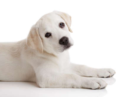 Beautiful labrador retriever cream puppy isolated on white background Stock Photo - 11996700