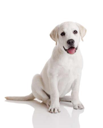 Beautiful labrador retriever cream puppy isolated on white background photo