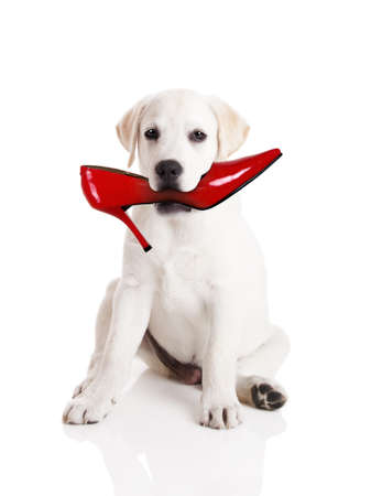 gnaw: Labrador retriever with a res shoe in his mouth