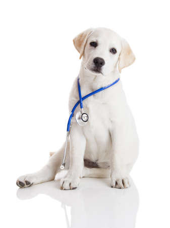 Beautiful labrador retriever with a stethoscope on his neck, isolated on white photo