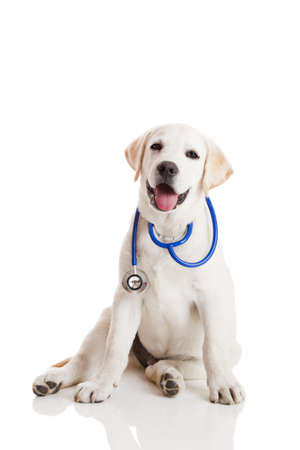 veterinarians: Beautiful labrador retriever with a stethoscope on his neck, isolated on white