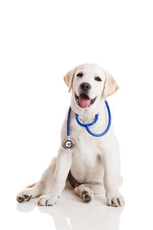 veterinario: Labrador retriever hermoso con un estetoscopio en el cuello, aislado en blanco