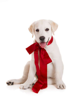Adorable labrador retriever puppy wearing a red sattin lace, isolated on white photo
