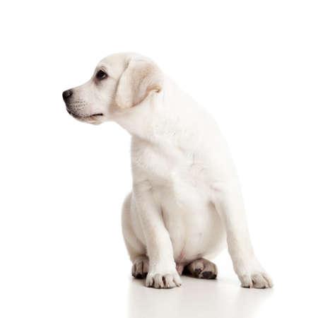 perro labrador: Hermoso cachorro labrador retriever crema aisladas sobre fondo blanco Foto de archivo