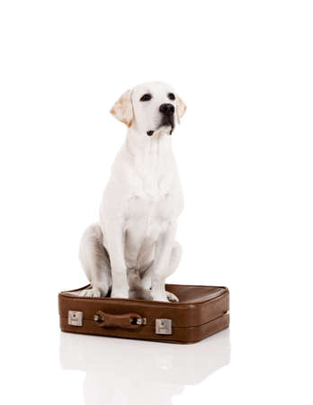 Beautiful dog of breed Labrador retriever sitting over a baggage Stock Photo - 14944011