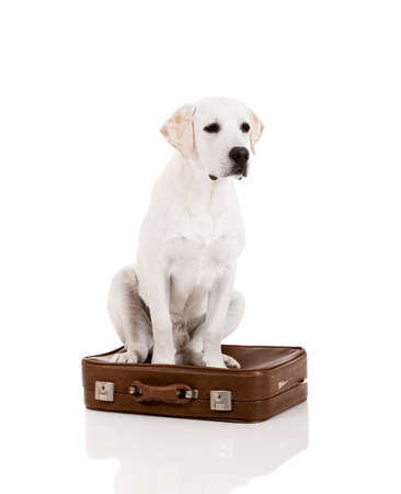 Beautiful dog of breed Labrador retriever sitting over a baggage photo