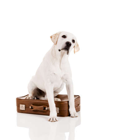 Beautiful dog of breed Labrador retriever sitting over a baggage Stock Photo - 14944002