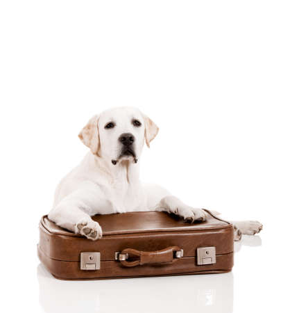 Beautiful dog of breed Labrador retriever lying over a baggage photo