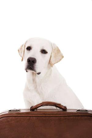 Beautiful dog of breed Labrador retriever sitting behind a baggage photo