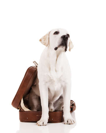 Beautiful dog of breed Labrador retriever sitting inside a open baggage Stock Photo - 14943989