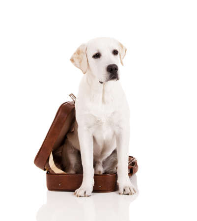 Beautiful dog of breed Labrador retriever sitting inside a open baggage photo