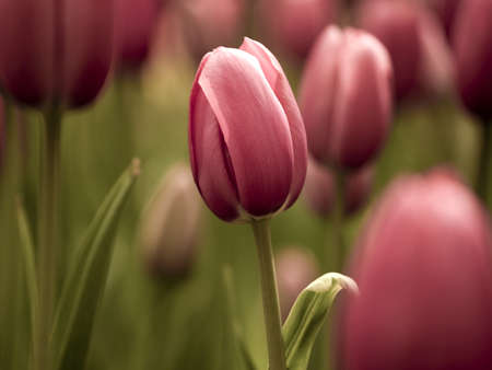 beautiful red tulips close up: Picture of beautiful tulips on shallow deep of field