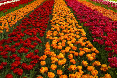 beautiful red tulips close up: Spring field full of beautiful and colorful tulips