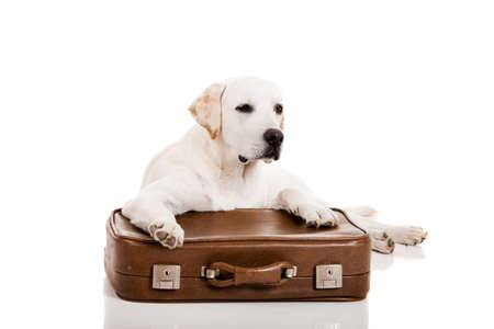 Beautiful dog of breed Labrador retriever lying over a baggage Stock Photo - 15760527