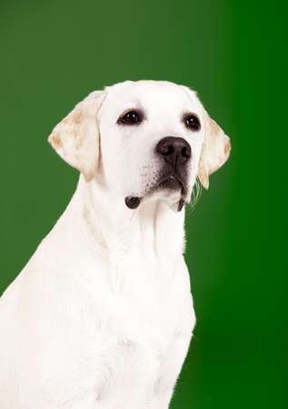 Beautiful dog of breed Labrador sitting and isolated on green Stock Photo - 15760598
