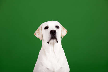Beautiful dog of breed Labrador sitting and isolated on green Stock Photo - 15760649