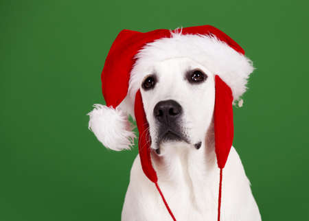 Portrait of a Labrador Retriever with a Santa hat isolated on a green background Stock Photo - 15760590