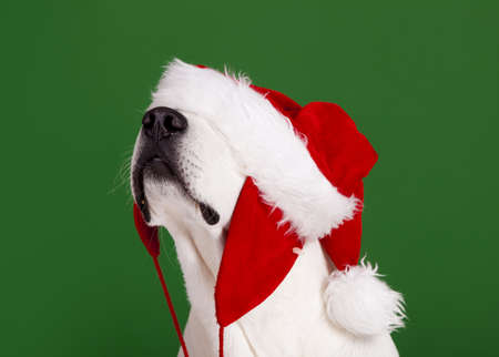 Portrait of a Labrador Retriever with a Santa hat isolated on a green background