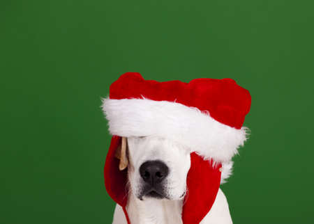 labrador christmas: Portrait of a Labrador Retriever with a Santa hat isolated on a green background