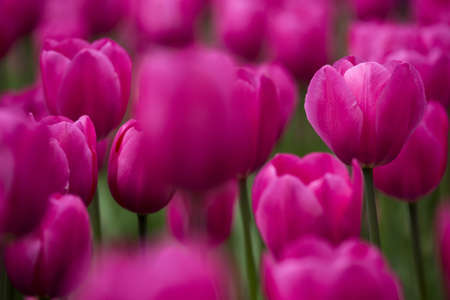 Picture of beautiful pink tulips on shallow deep of field Stock Photo - 17227245