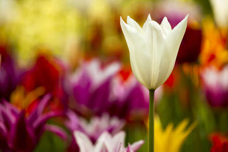 Picture of beautiful tulips on shallow deep of field Stock Photo - 17227249