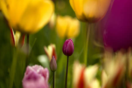 Picture of beautiful tulips on shallow deep of field Stock Photo - 17227248