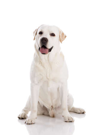 Beautiful labrador retriever breed, isolated on white background Фото со стока