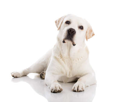 yellow lab: Beautiful labrador retriever breed lying on floor, isolated on white background Stock Photo