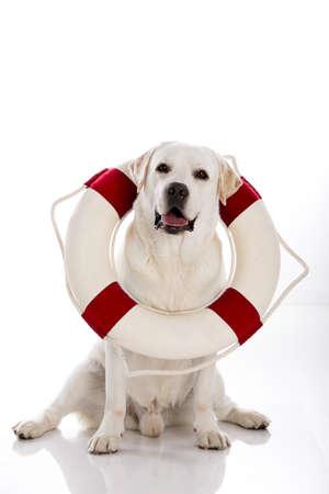 Beautiful labrador retriever sitting on floor with a sailor buoy photo
