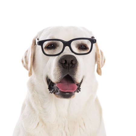 Portrait d'un beau labrador retriever portant des lunettes