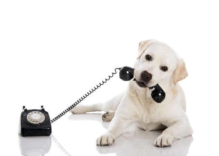 Portret van een Labrador retriever met een telefooncontactpersoon met de mond
