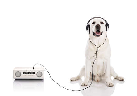 Labrador retriever listen music with headphones Фото со стока