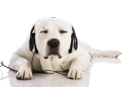 Mooie labrador hond liggen en luisteren muziek