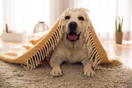 Beautiful labrador retriever covered with a blanket