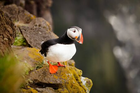 The beautiful Puffin a rare bird specie photographed in Iceland 写真素材 - 133897872